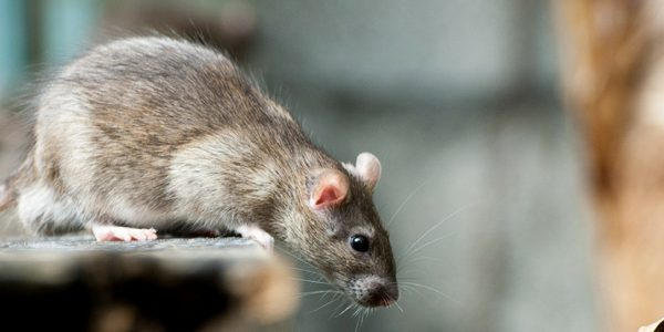 Objective of holding rodent control